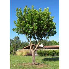 Arbutus Unedo Strawberry Tree
