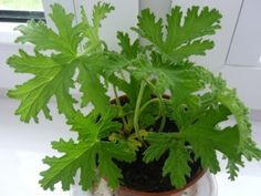 Geranium – niszczy bakterie i wirusy Dahlia Flower, Health And Beauty Tips, Geraniums, Herb Garden, Green Garden, Garden Projects, Good To Know, Indoor Plants, House Plants