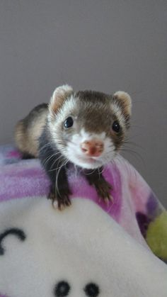 Meet Sable, an adoptable ferret looking for a forever home. If you're looking for a new pet to adopt or want information on how to get involved with adoptable pets, Petfinder.com is a great resource.