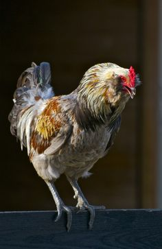 JMFF Rooster........#rooster #chicken #chick