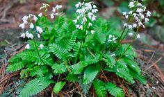 Very rare Japanese woodland plant. Woodland Plants, Short Plants, Herbs, Japanese, Japanese Language, Herb, Spice