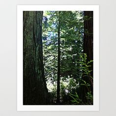 Redwood Forest Art Print by Rachel Winkelman - $15.00