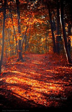 lovely to walk in the woods, crunching leaves underfoot. what a gorgeous photo. makes me homesick for autumn already (can we vote that autumn last from September until March please? Beautiful Places, Beautiful Pictures, New England Fall, Autumn Scenes, All Nature, Fall Pictures, Autumn Leaves, Fall Trees, Red Leaves
