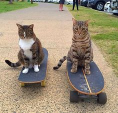 Skateboard kitties!