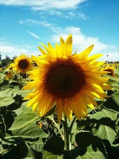 Sunflower, Hungary
