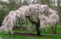 Weeping wisteria  | combining the fragile loveliness of a cherry blossom with the twisted ...