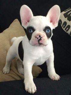 'Panda', the French Bulldog Puppy❤️ #buldog