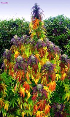 Carefully selected mothers and 'fathers' are used to create our cannabis genetics. We use the most stable, viable and potent plants to produce our cannabis seeds. Ganja, Photographie Street Art, Marijuana Plants, Marijuana Leaves, Cannabis Plant, Up In Smoke, Medical Marijuana, Gardens, Nature