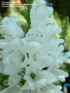 A is for Alba - 2009 garden addition, Physostegia virginiana 'alba'