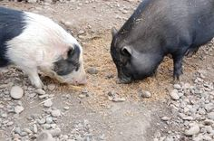 Rogue Ales Potbellied pigs Voo and Doo