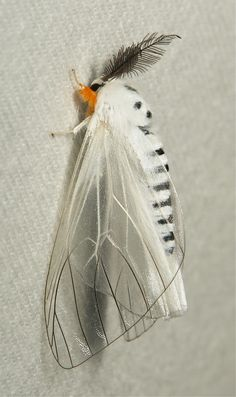 This lovely white moth looks like it has a fashionable feather on its head! :P