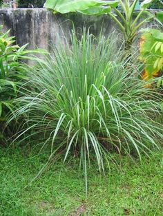 Easy to grow mosquito-repelling plants - When purchasing citronella, look for the true varieties, Cybopogon nardus or Citronella winterianus. Other plants may be sold as 'citronella. - And 4 other easy to grow mosquito-repelling plants The Secret Garden, Mosquito Repelling Plants, Anti Mosquito Plants, Plantation, Dream Garden, Lawn And Garden, Garden Oasis, Garden Fun, Herb Garden
