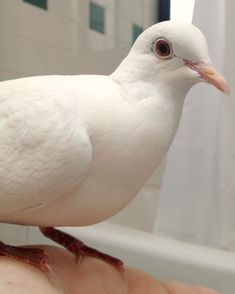 Did you know that domestic doves and pigeons make great pets? Sadly, they're… White Pigeon, Dove Pigeon, Pigeon Bird, Dove Pictures, Pigeon Breeds, Dove Bird, White Doves, Circle Of Life, Exotic Pets