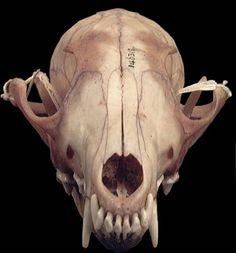 Fox skull anatomy