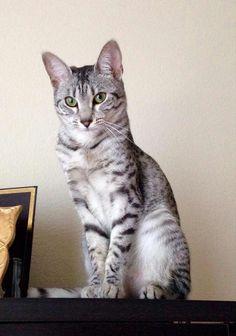 Egyptian mau... cool cat stuff ♥