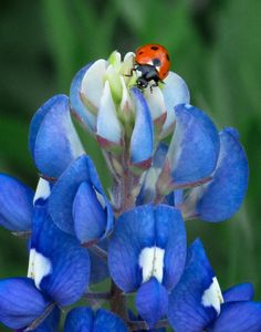 Lady Bug And Bluebonnet.The spots on a Ladybug fade as they get older and the bright colors warn birds they are NOT a tasty snack! Photo Coccinelle, Blue Flowers, Wild Flowers, Texas Bluebonnets, Blue Bonnets, Lady In Red, Planting Flowers, Beautiful Flowers, Art Prints