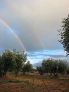 Rainbows over olive grove, Toledo, Spain.