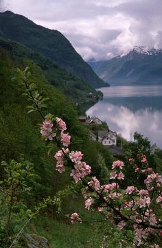 Spring blossom in Hardangerfjord, Norway