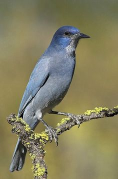 The pinyon jay (Gymnorhinus cyanocephalus), historically known as the blue crow or Maximilian's jay, is a jay between the North American blue jay and the Eurasian jay in size. Pretty Birds, Beautiful Birds, Arizona Birds, Vulnerable Species, Jackdaw, Jay Bird, All Birds, Colorful Birds, Blue Jay