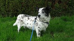 How Does a Dachshund Dalmatian Mix (Dachsation) Look Like: Size, Height, Temperament and Behavior, Training Corgi Breeds, Rare Dog Breeds, Dog Breeds List, Cute Dogs Breeds, Corgi Mix, Small Poodle, Definition Of Cute, Dog Crossbreeds, Animales