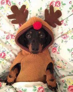 12 Reasons You Should Not Own A Dachshund - Dachshund Bonus Dapple Dachshund, Long Haired Dachshund, Dachshund Puppies, Weenie Dogs, Dachshund Love, Doggies, Dachshund Quotes, Chihuahua Dogs, Silly Dogs