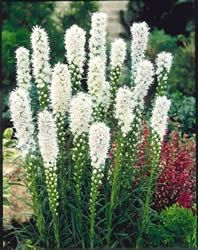 "Liatris ""Blazing Star"" white. Pin: ""Looks great in a ""moon garden"" as it seems to glow at night."""