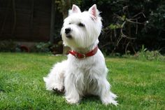 pictures of westies dogs dog wallpapers westie dogs