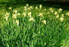 Yellow Irises in my garden