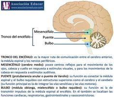 Infografía Neurociencias: Tronco cerebral; Mesencéfalo; Puente; Bulbo. | Asociación Educar