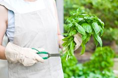 Basil plants are known for their outstanding aromas. The leaves of this herb have a high concentration of essential oils, making it a great addition to various cuisines. What then is the best way of pruning back basil plant leaves? Find out here.