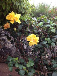 hibiscos amarillos. Plants, Hibiscus, Yellow, Flowers, Plant, Planting, Planets