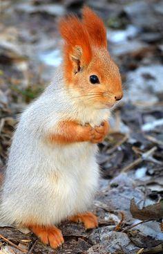 Quando o esquilo tem um ruivo mais bonito que o seu...