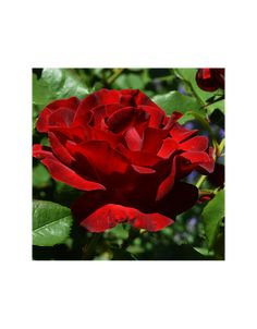 Zeci de culori de butasi de trandafiri cu radacina protejata Lei, Plants, Plant, Planets