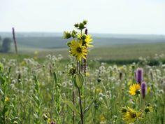 Owens prairie, an unbroken square of land on the five-figure per acre black soils of Iowa.