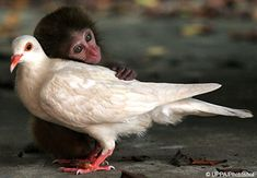Japanese Macaque & Pigeon