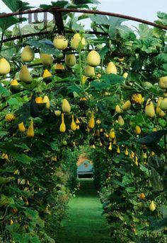 fruit trees instead of gourds, front hedge?espalier fruit trees instead of gourds, front hedge? Veg Garden, Vegetable Garden Design, Garden Trellis, Fruit Garden, Garden Cottage, Edible Garden, Garden Beds, Growing Vegetables, Growing Plants