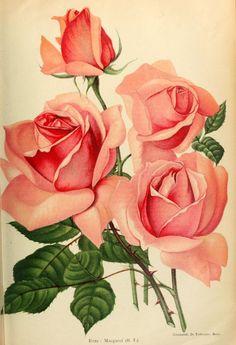 Illustration Botanique, Rose Illustration, Botanical Illustration, Art Floral, Floral Prints, Beautiful Rose Flowers, Flowers Nature, Impressions Botaniques, Rose Art