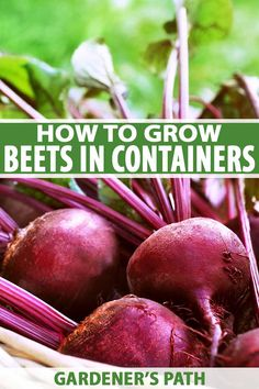 Growing beets in containers can be a fun, delicious project for you – and the kids – to do year-round. Planting beets in pots allows you to provide exactly the right growing conditions this tasty root needs for a healthy, hearty harvest. Indoor Gardening Supplies, Container Gardening, Gardening For Beginners, Gardening Tips, Vegetable Gardening, Beet Plant, Garden Front Of House, Garden Soil, Garden Landscaping