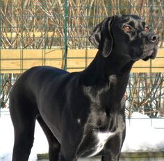 Solid Black Pointer { I love black solids, not so much the liver or orange though. Never have had the pleasure of seeing a lemon solid, would be  pretty amazing}