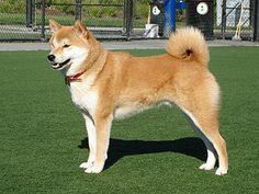 Shiba Inu..I hope mine gets this big!