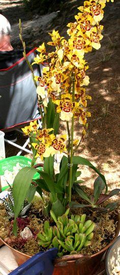 Outra planta suculenta e orquídea, plantadas em uma grande urna de cobre vintage.