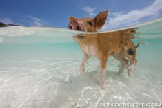 Pigs in the Bahamas (Big Major Island), by Eric Cheng