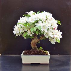 Bonsai, probably an apple or plum tree?