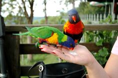 Tamborine Mountains, Queensland, Australia. There is this awesome polish place where parrots come to you and eat sugar out of your hand just like in the pic ! :)