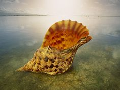 Orange Shell in the Peaceful Sea, Can You Hear It Sing?  f