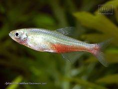 Redflank Bloodfin