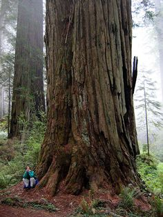 largest tree in the world - Google 검색