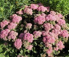 Sankt Hans-urt er, hvad nogle vil betegne som idiotsikker i haverne. Den er en hårdfør sukkulent, der kan gro på de fleste jorder, men den trives dog ikke i meget fugtig eller meget næringsrig jord. Sankt Hans-urt elsker sol, men kan også klare halvskygge. Bladenes farver kan dog ændre sig efter lysforholdene: de mere rødbladede skal have lys for bevare den røde farve, ellers bliver bladene grønne. Sedum er en god bi- og sommerfugleplante og blomstrer fra august til oktober,