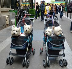 What's better than one Westie..? Four Westies. !!