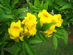 The yellow trumpetbush is the state flower of the US Virgin Islands